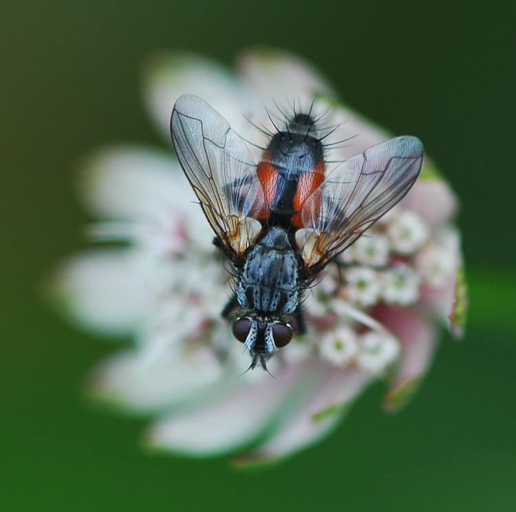 Foto/billede af Rød Snylteflue (Eriothrix rufomaculatus)
