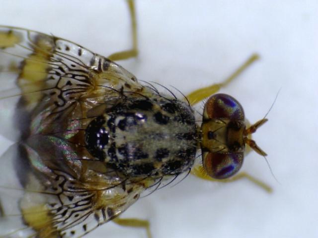 Middelhavsfrugtflue