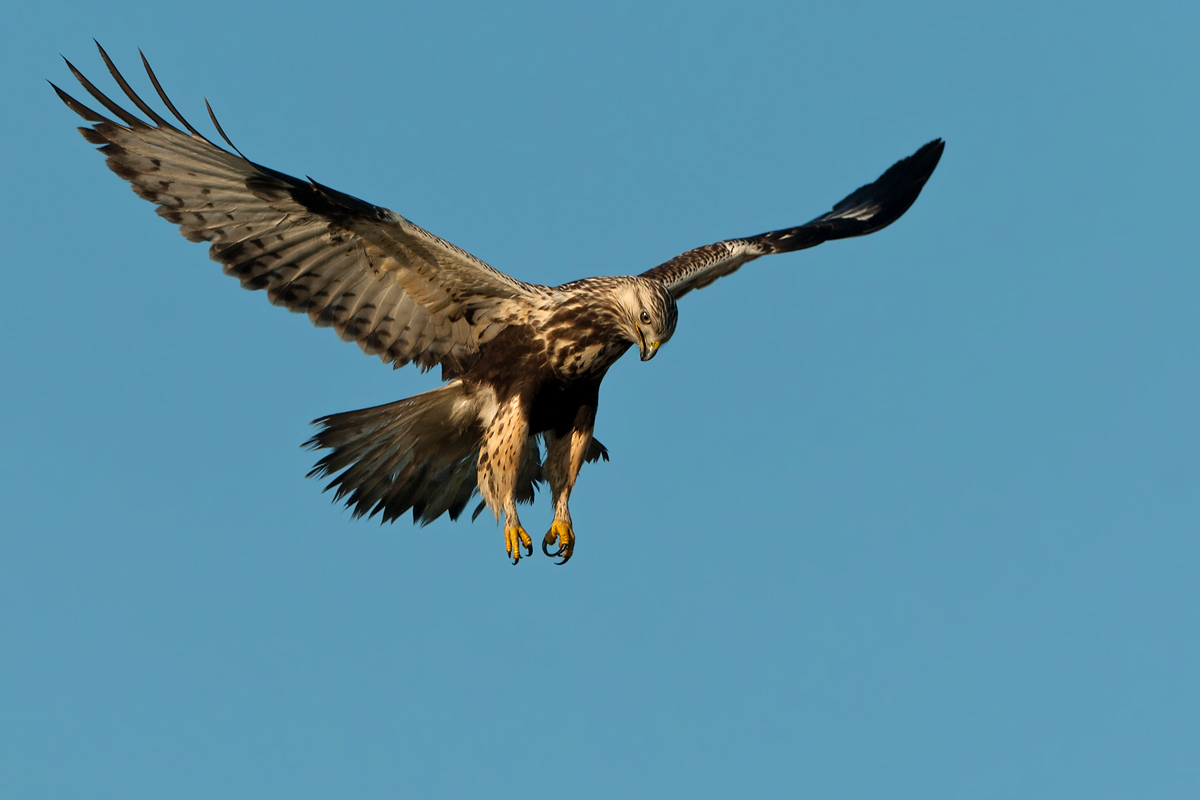 Foto/billede af Fjeldvåge (Buteo lagopus)