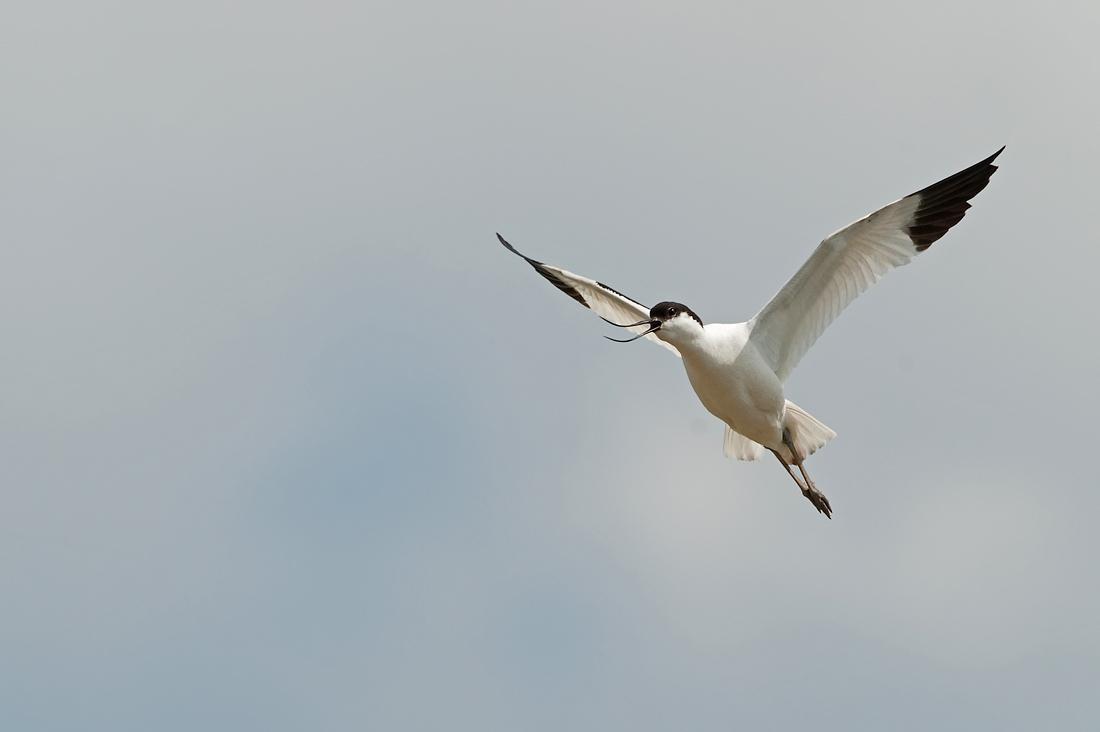 Klyde (Recurvirostra avosetta)