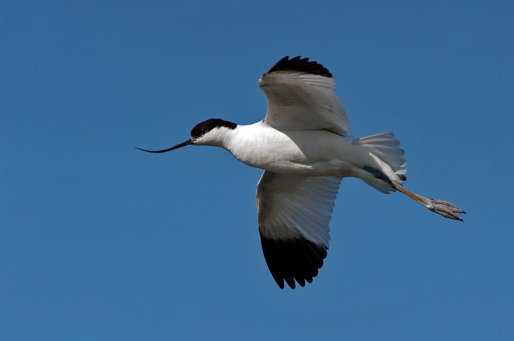 Foto/billede af Klyde (Recurvirostra avosetta)