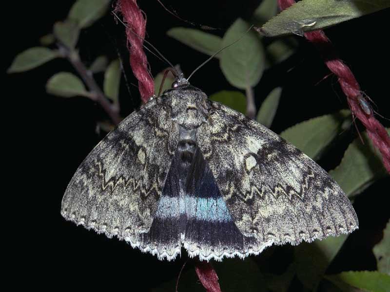 Foto/billede af Blåt Ordensbånd (Catocala fraxini)