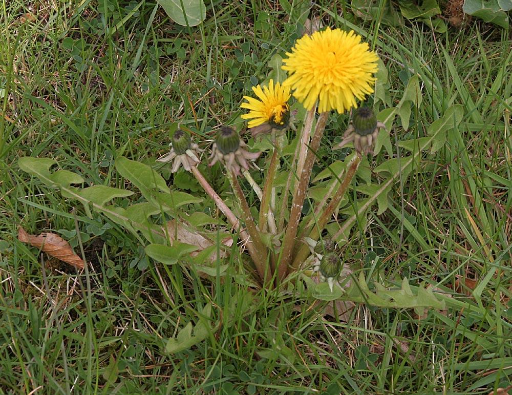 Foto/billede af Hadsund-Vejmælkebøtte (Taraxacum freticola)