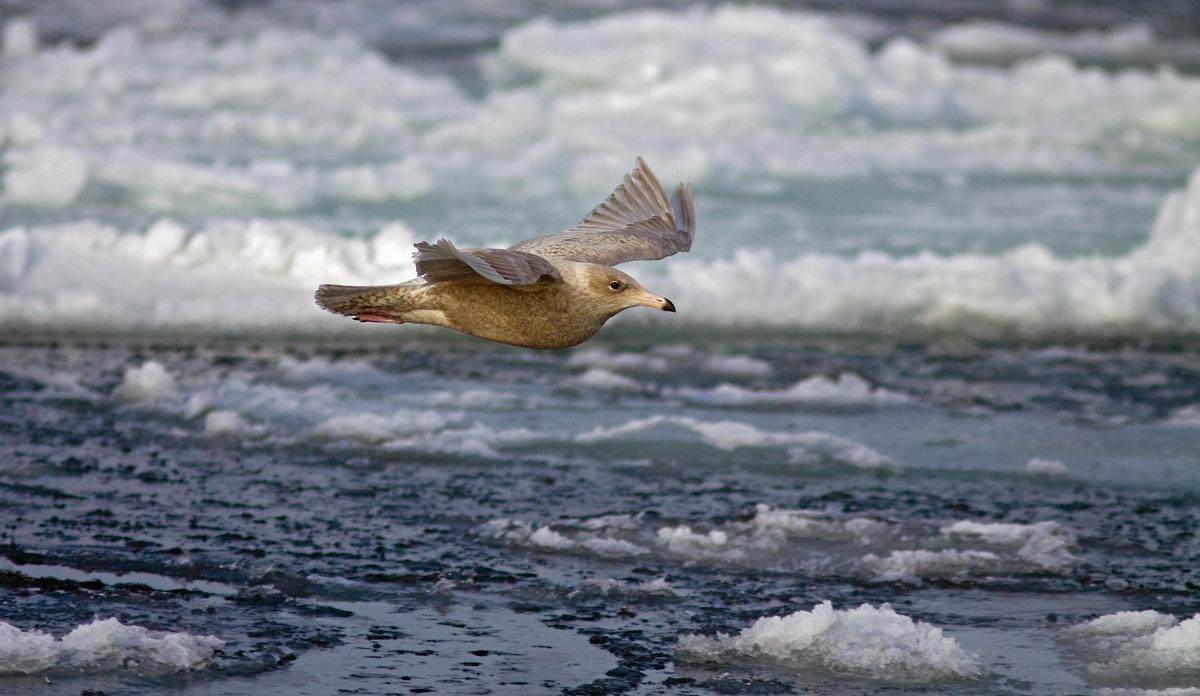 Foto/billede af Gråmåge (Larus hyperboreus)