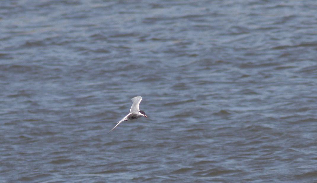 Foto/billede af Hvidskægget Terne (Chlidonias hybrida)