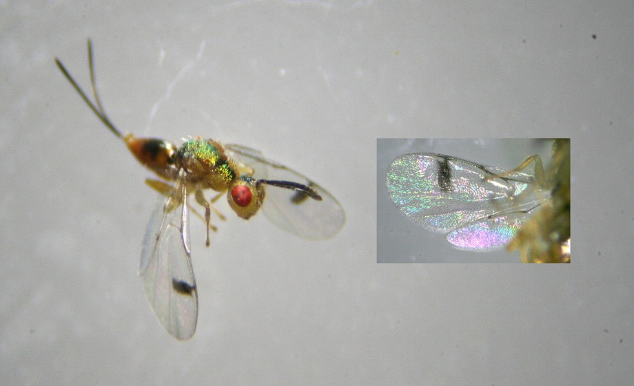 Bootanomyia dorsalis