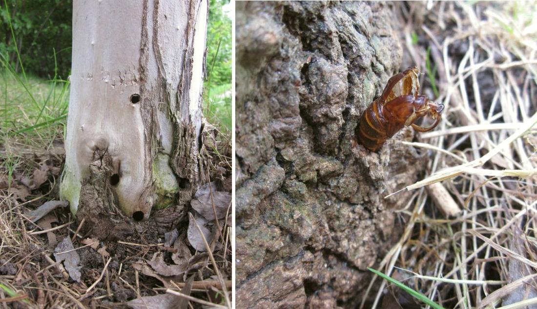 Stor Glassværmer (Sesia apiformis)