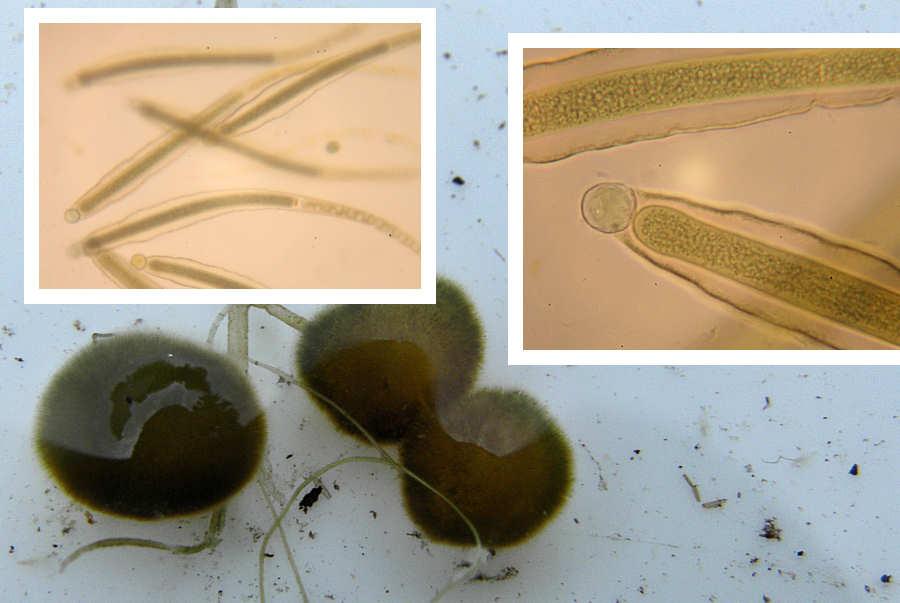 Gloeotrichia natans (Gloeotrichia natans)