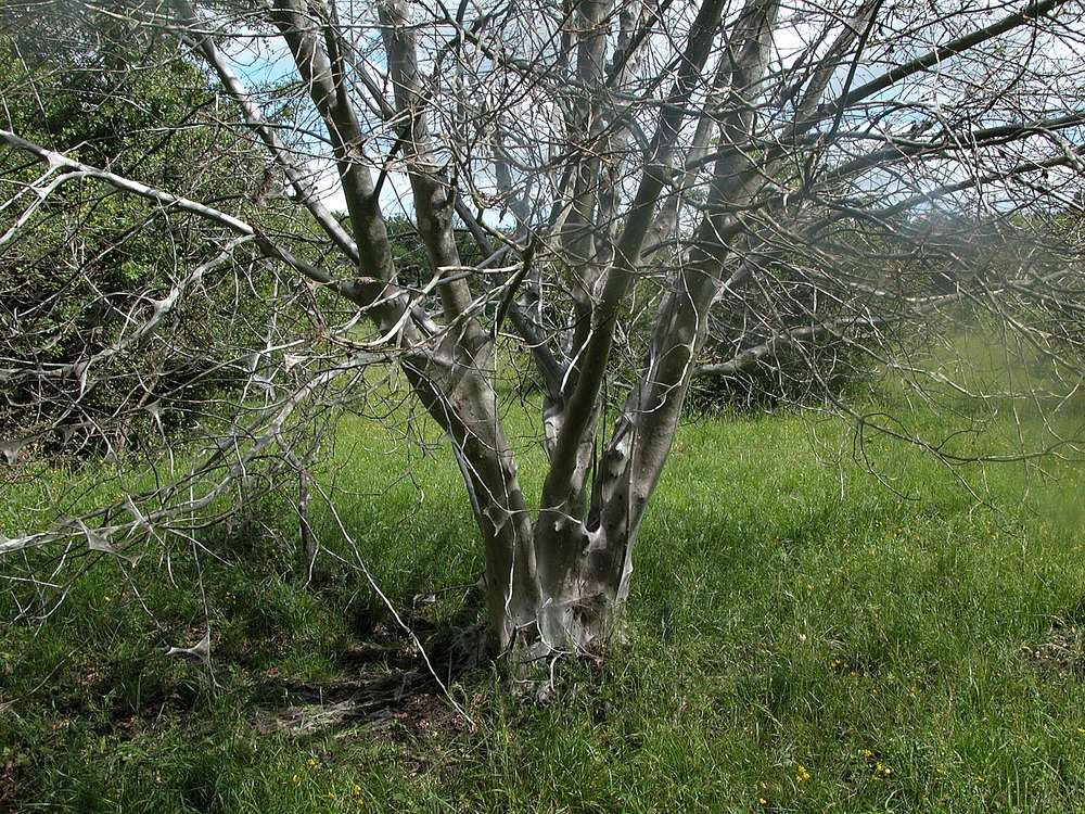 Hægspindemøl (Yponomeuta evonymella)
