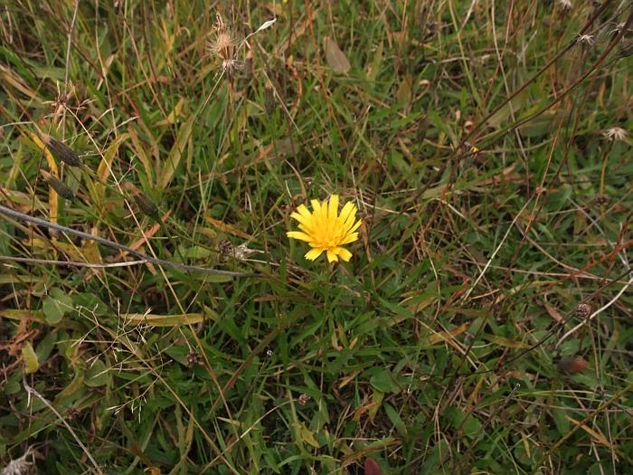 Foto/billede af Høst-Borst (Leontodon autumnalis)