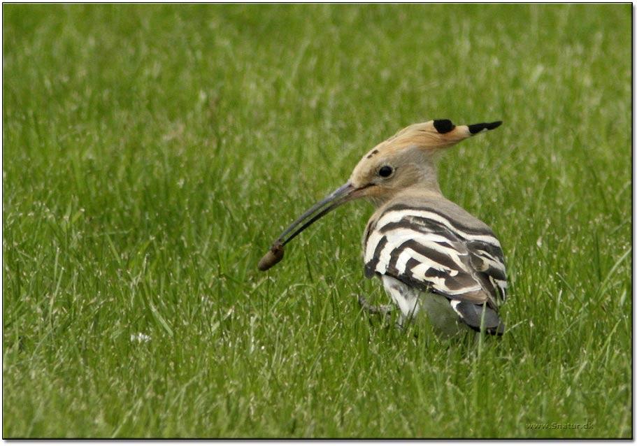 Hærfugl (Upupa epops)