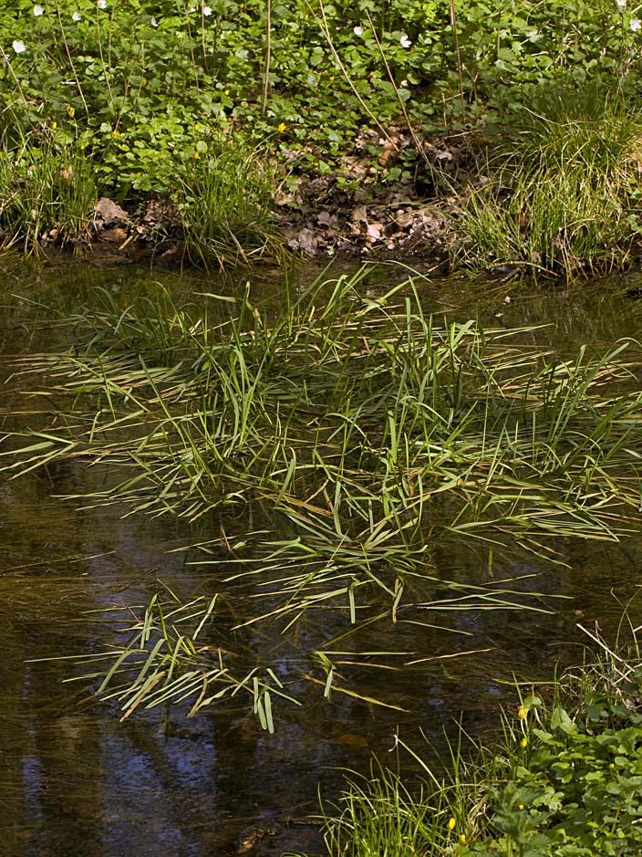 Foto/billede af Manna-Sødgræs (Glyceria fluitans)