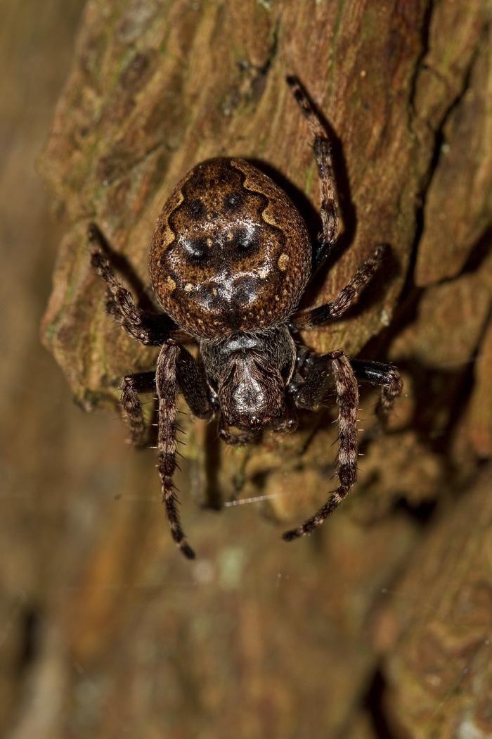 Foto/billede af Flad hjulspinder (Nuctenea umbratica)