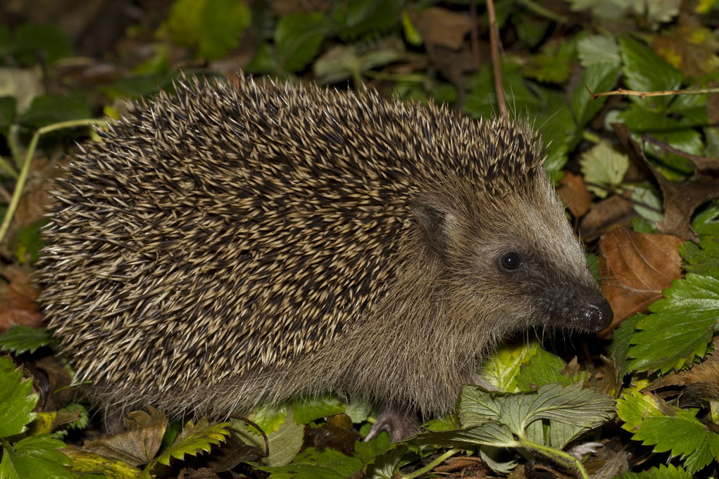 Foto/billede af Pindsvin (Erinaceus europaeus)