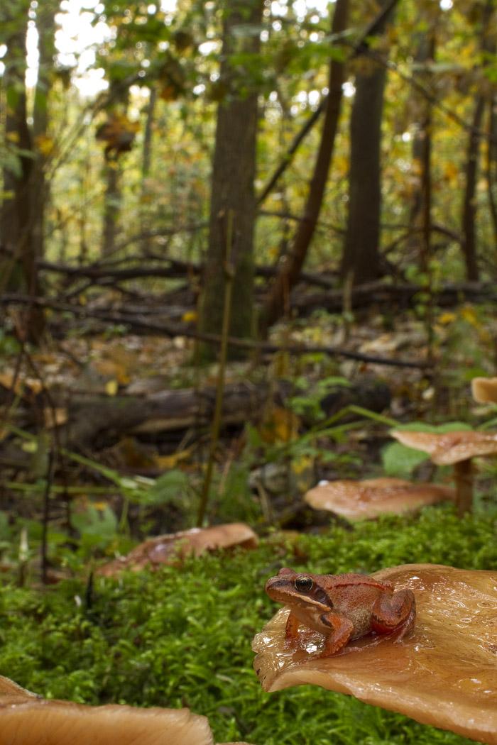 Foto/billede af Springfr� (Rana dalmatina)