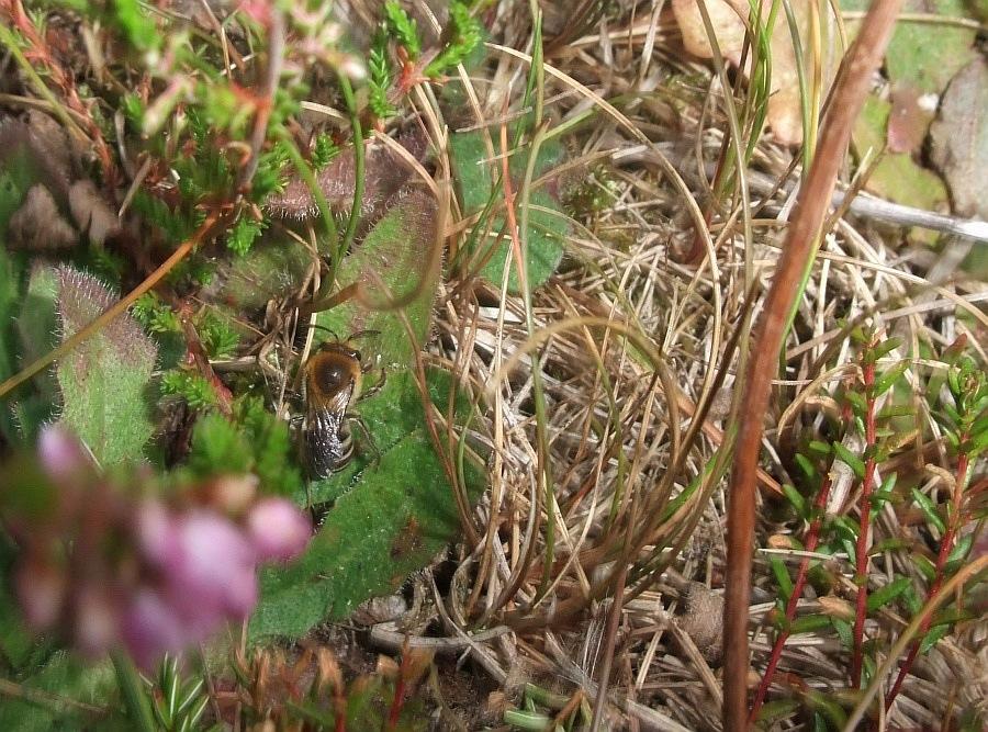 Foto/billede af Hede-silkebi (Colletes succinctus)