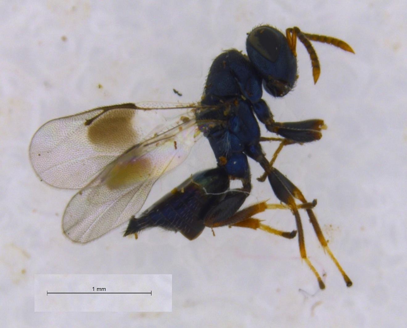 Homoporus nypsius