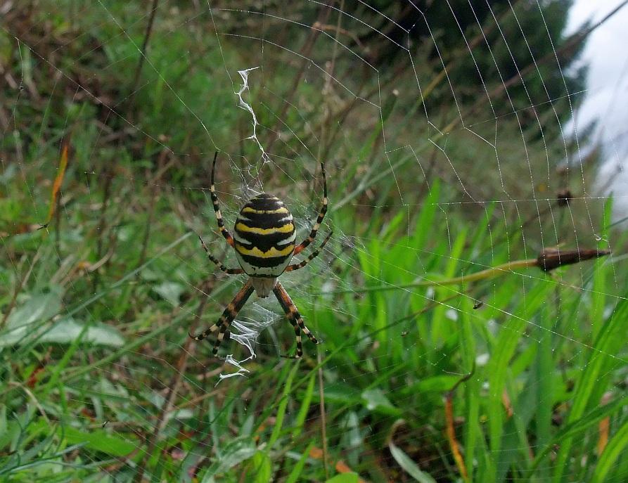 Hvepseedderkop (Argiope bruennichi)