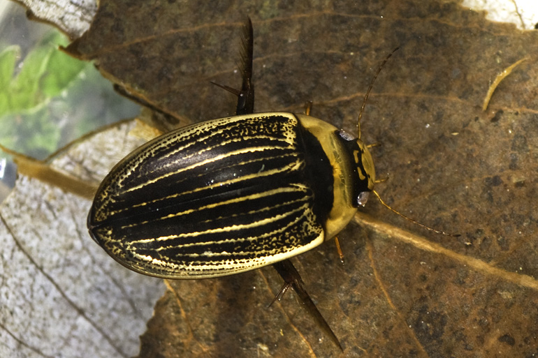 Hydaticus continentalis (Hydaticus continentalis)