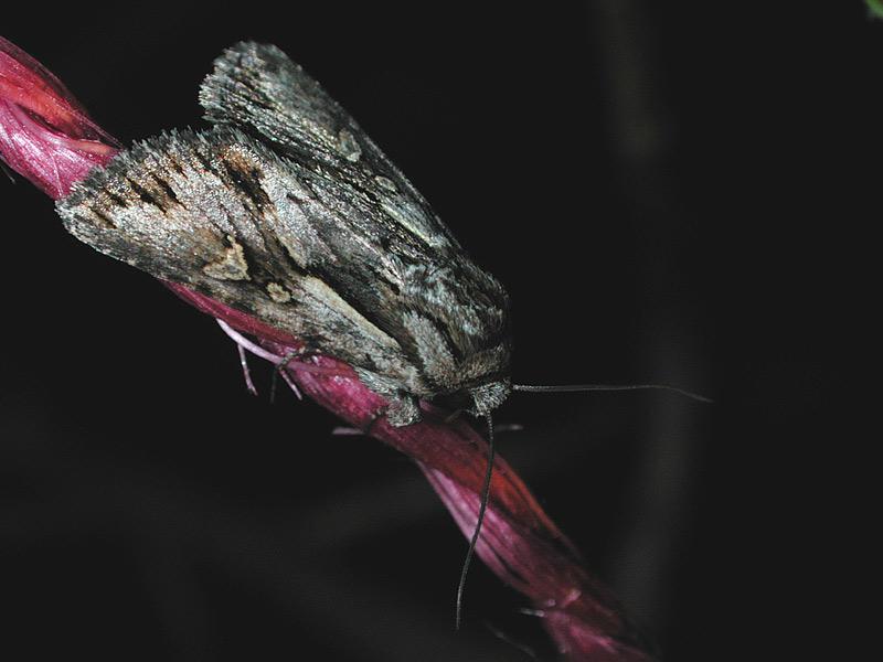 Foto/billede af Blegskuldret Perikonugle (Chloantha hyperici)