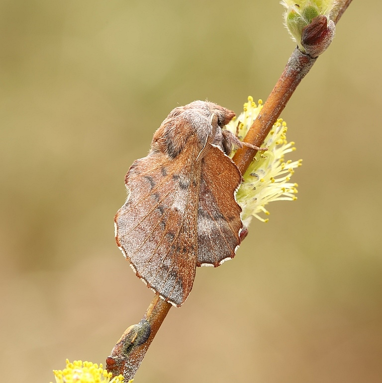 Hede-Takspinder (Phyllodesma ilicifolia)