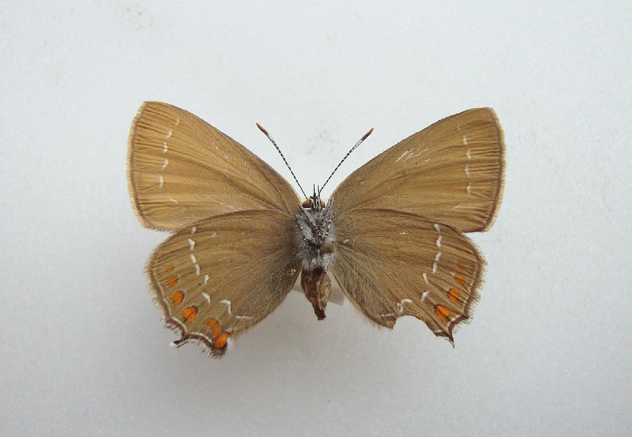 Egesommerfugl (Satyrium ilicis)