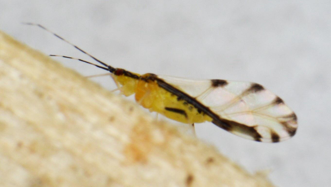 Lindebladlus (Eucallipterus tiliae)