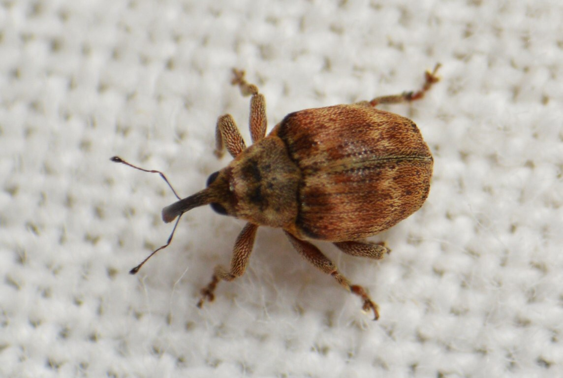 Coeliodes ruber (Coeliodes ruber)