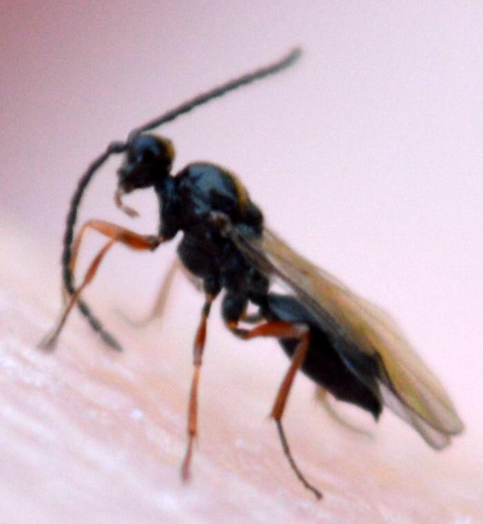 Tretoserphus sp.