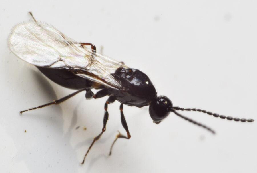 Eucoilinae ubest.