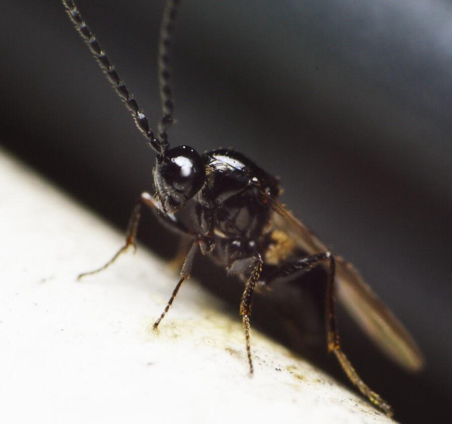Eucoilinae ubest. (Eucoilinae indet.)