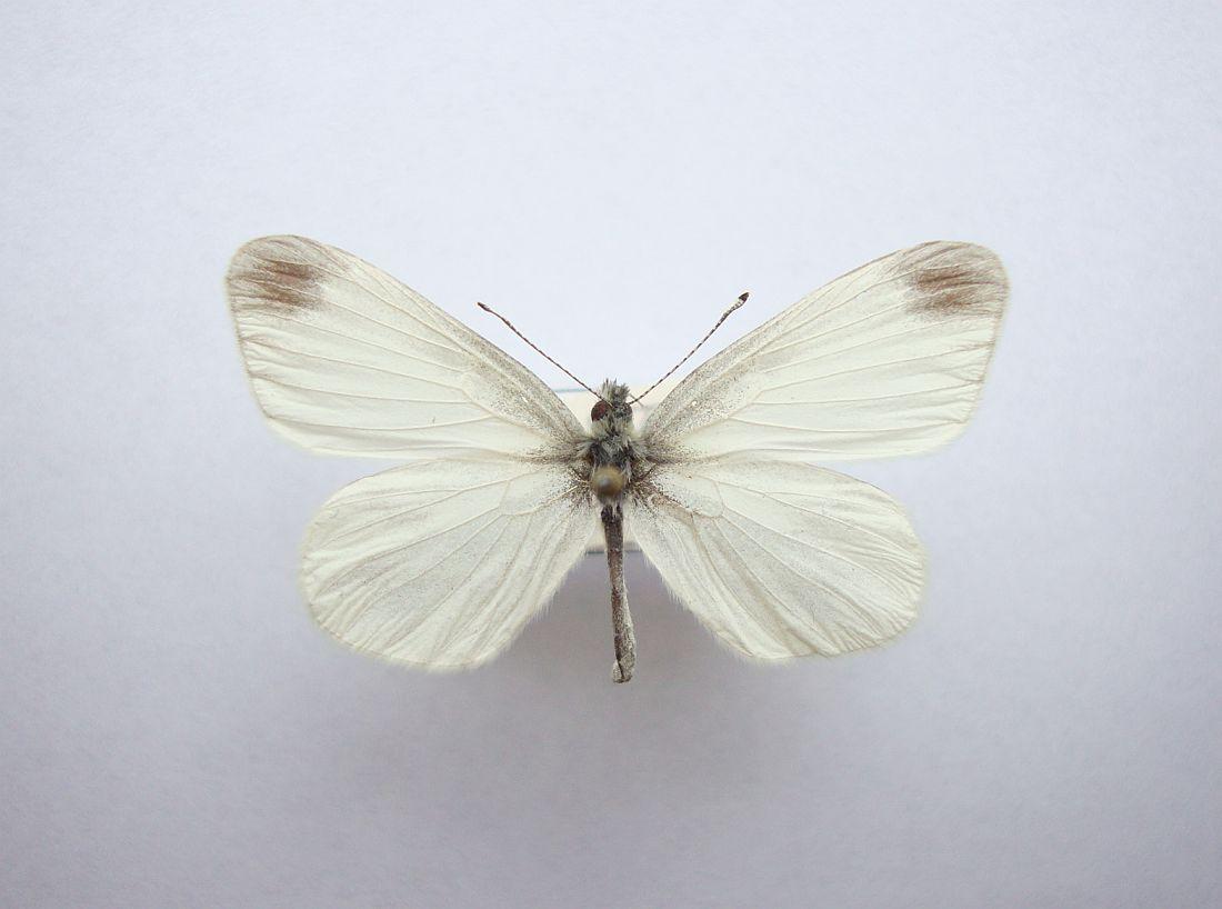 Foto/billede af Enghvidvinge (Leptidea juvernica)