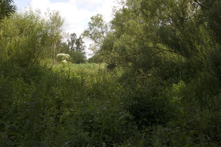 Foto/billede af Kæmpe-Bjørneklo (Heracleum mantegazzianum)