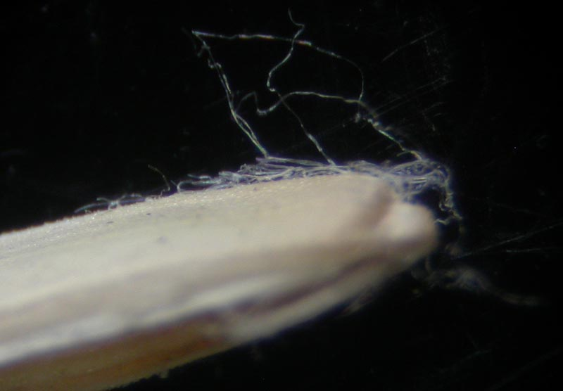 Kæmpe-Rapgræs (Poa remota)