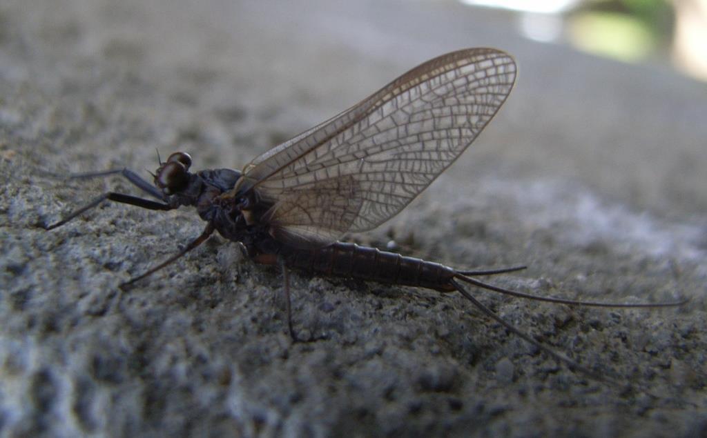 Kageronia fuscogrisea (Kageronia fuscogrisea)