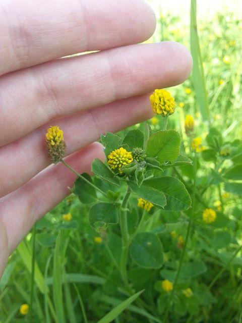 Gul Kløver (Trifolium campestre)