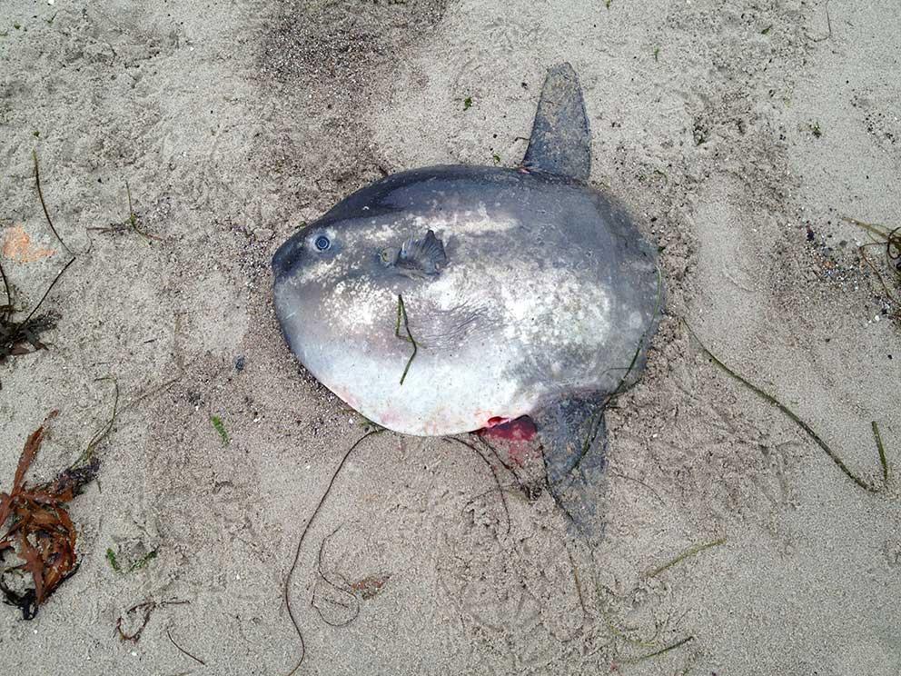 Klumpfisk (Mola mola)
