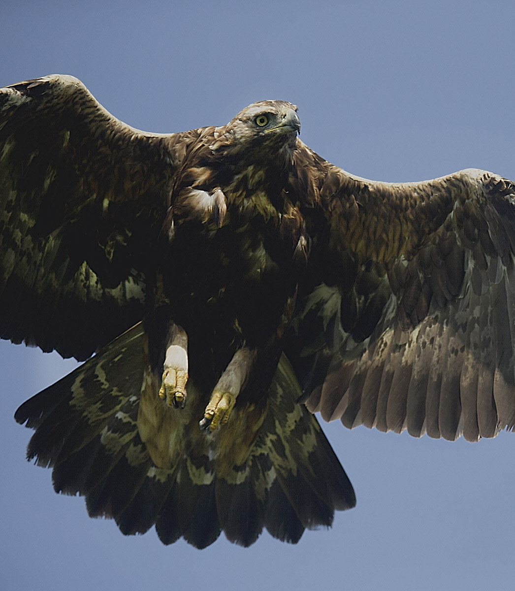 Kongeørn (Aquila chrysaetos)