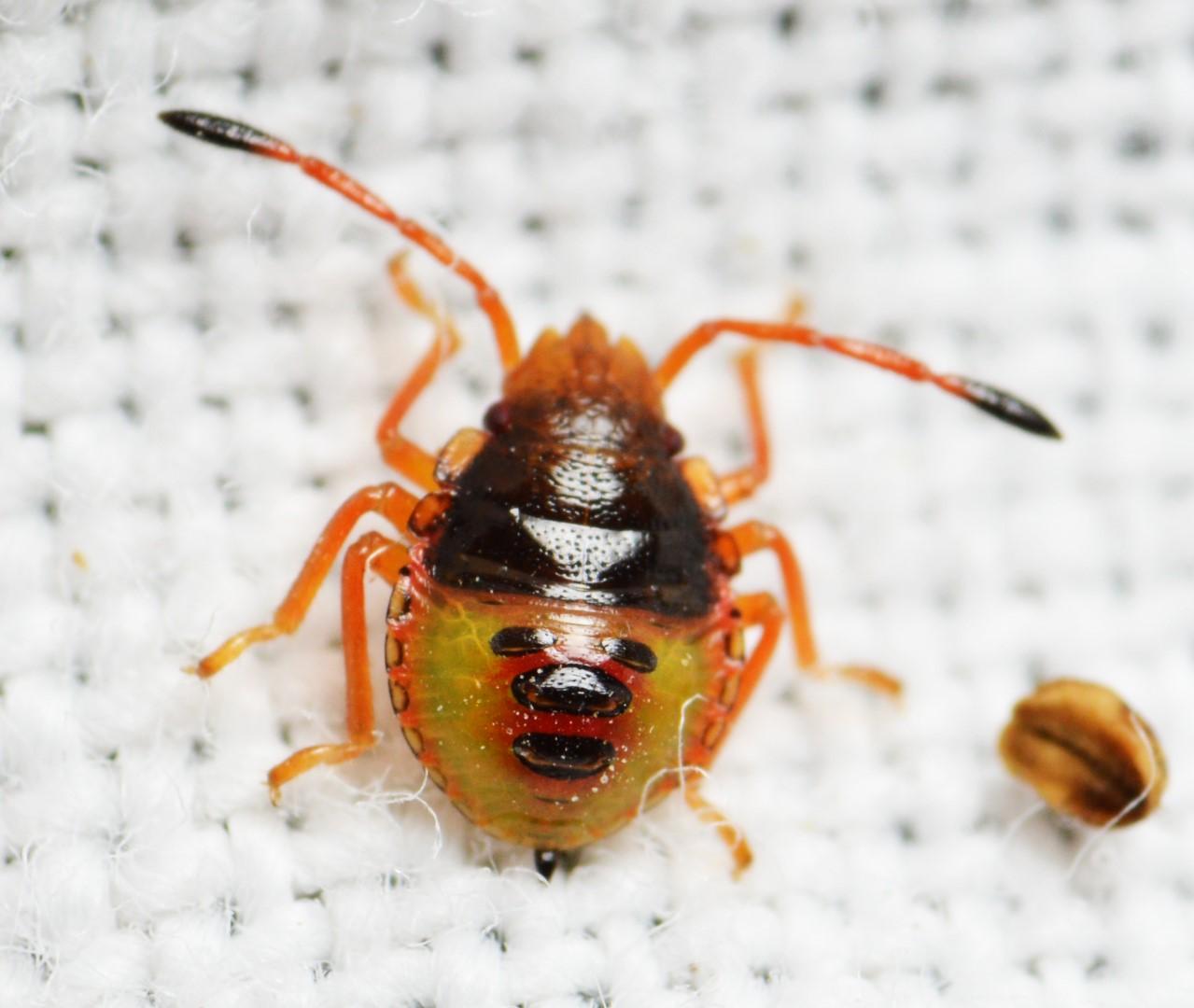 Stor Løvtæge (Acanthosoma haemorrhoidale)