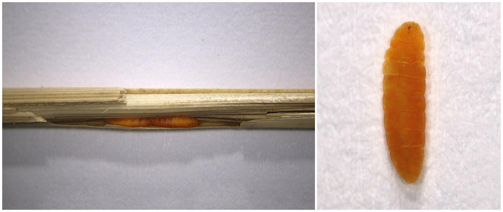Lasioptera calamagrostidis