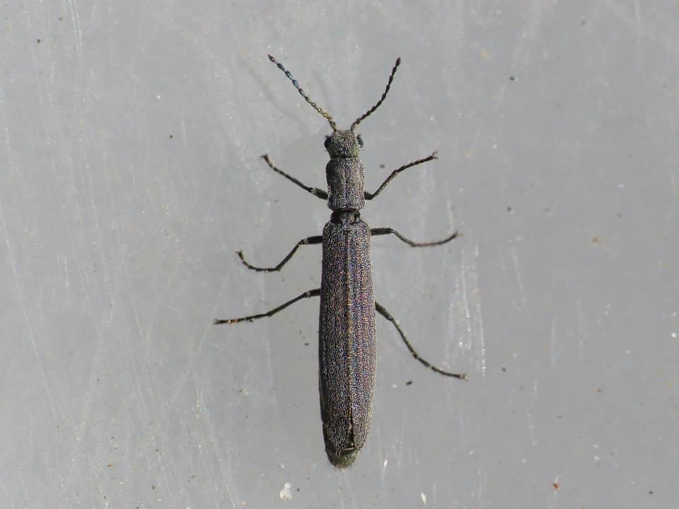 Foto/billede af Dolichosoma lineare (Dolichosoma lineare)