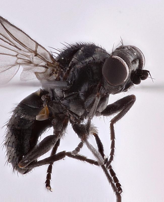 Lipoleucopis praecox