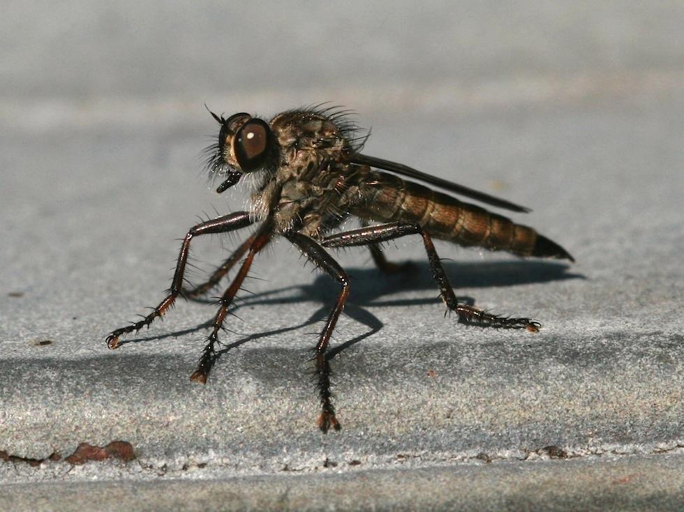 Sort Hårrovflue (Tolmerus atricapillus)