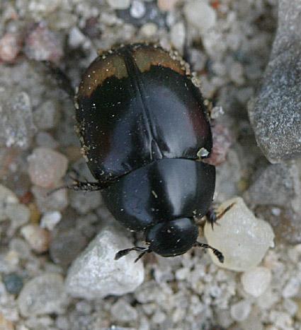 Måneplettet Møgkær (Sphaeridium lunatum)