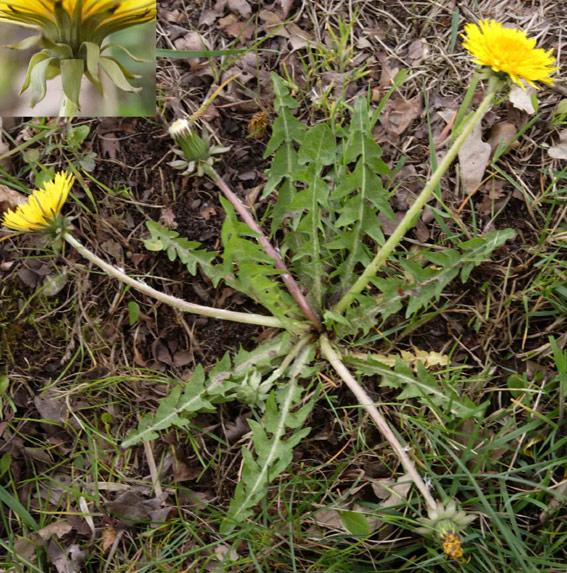 Foto/billede af Lysegrøn Vejmælkebøtte (Taraxacum luteoviride)