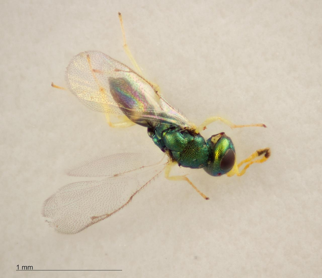 Mesopolobus fagi  (Mesopolobus fagi )
