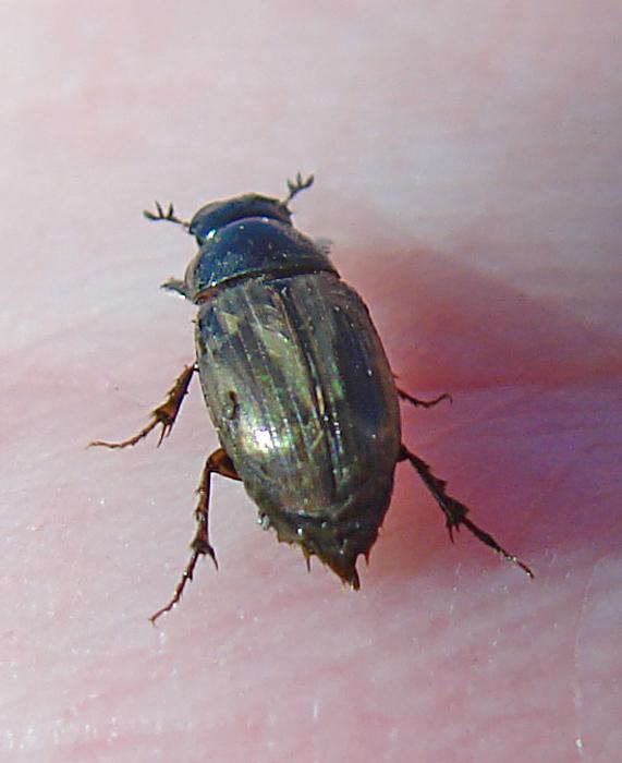 Melinopterus consputus