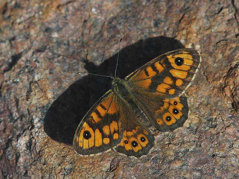 Vejrandøje (Lasiommata megera)