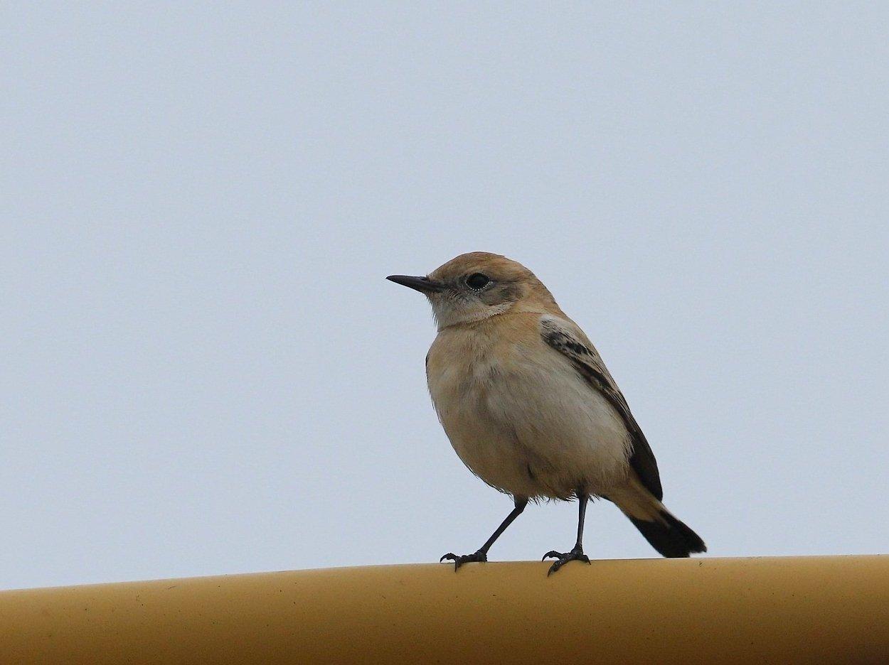 Foto/billede af Middelhavsstenpikker (Oenanthe hispanica)