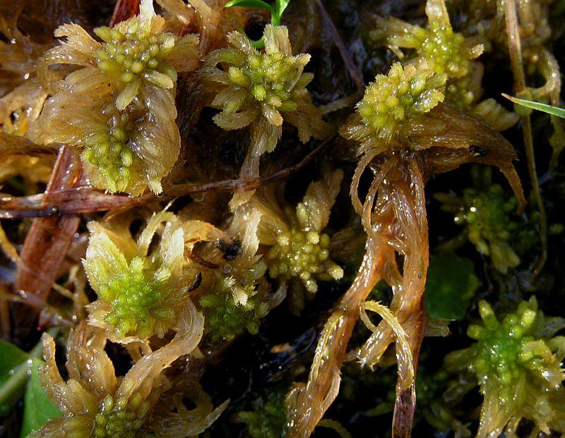 Brodspids-Tørvemos (Sphagnum fallax)